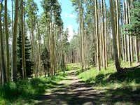 Aspens near Gold Hill