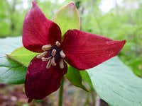 Red Trillium On Equinox