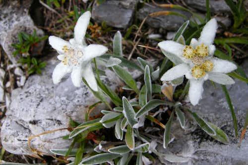 Leontopodium alpinum II