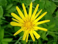 Yellow Goat\'s Beard