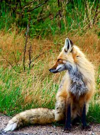 Fox On Whiteface