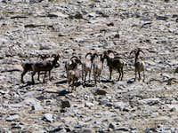 Flock of Big Horn Sheep