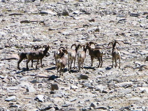 Flock of Big Horn Sheep