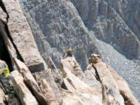 High Altitude Chipmunk