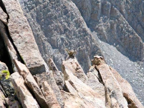 High Altitude Chipmunk