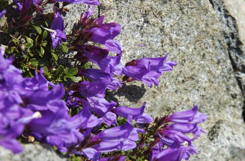 Cliff Penstemon