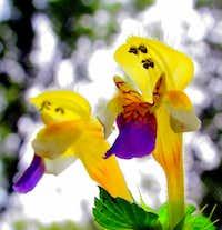 Gorski kotar flora - Large flowered Hemp nettle