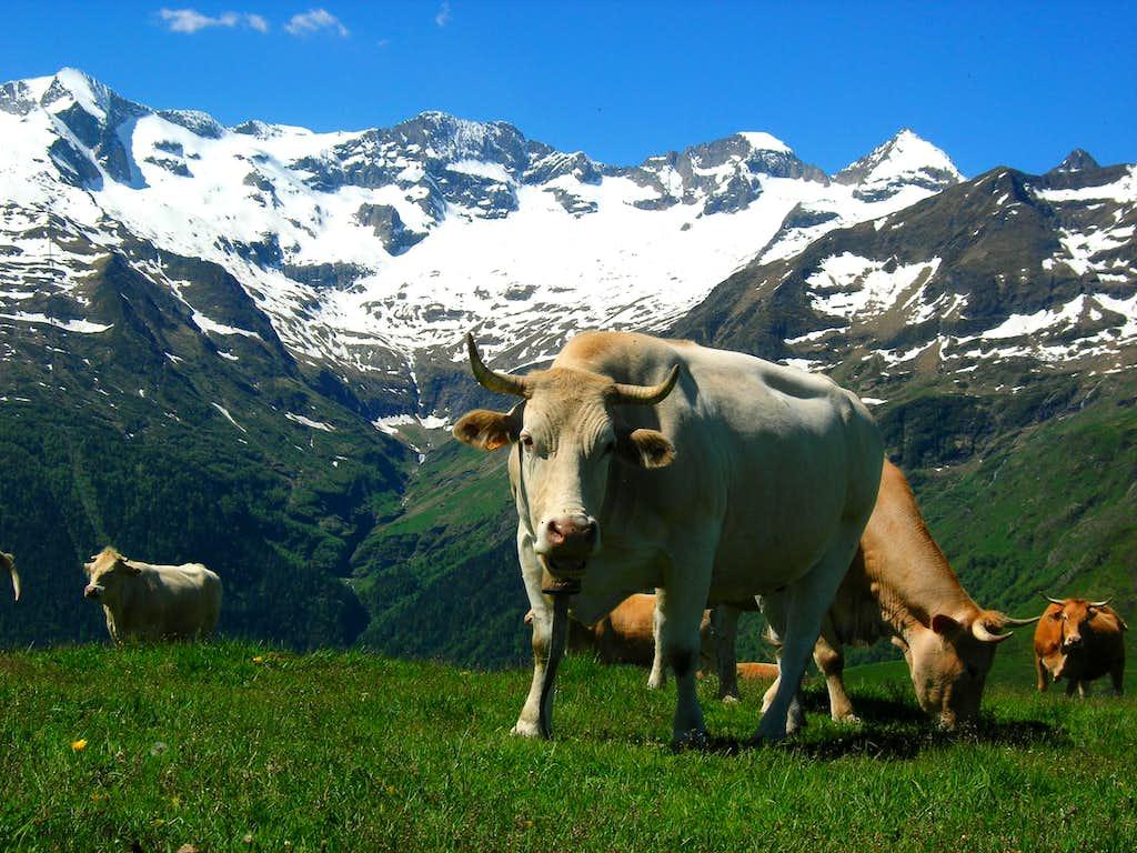 Pyreneën Cow