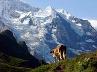 Post card motive of Silberhorn with cow in front of it