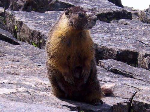 Marmot on Mt Tallac summit