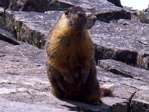 Marmot on Mt Tallac summit...