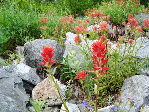 Indian Paintbrush on way to Ruth Mnt.