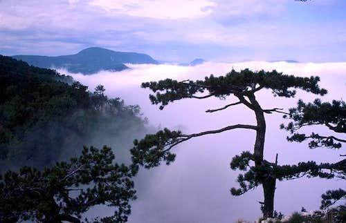 pine tree above Tara canyon....