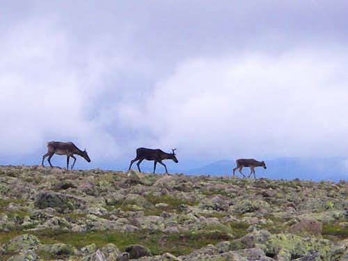 Caribou near the summit of Jacques Cartier