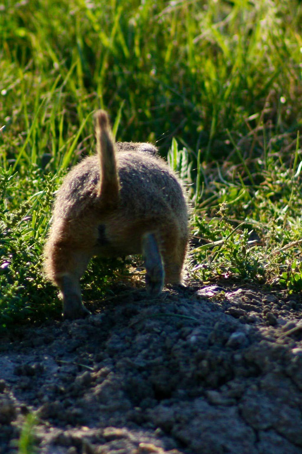 Prairie Dog Behind