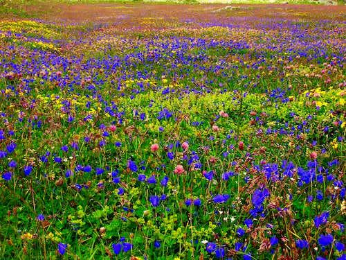 A colourful ocean of flowers on a meadow near Oberhornsee