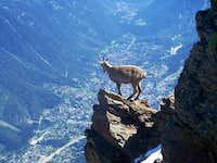 Rock goat above Chamonix