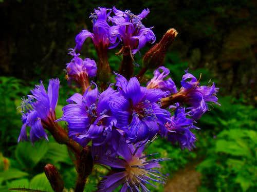 Alpine flower in the Hintere Lauterbrunnental
