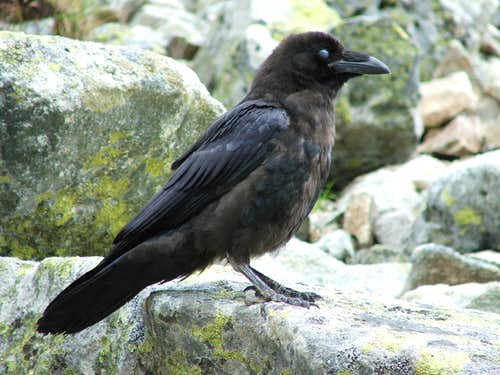 Raven with closed eyes