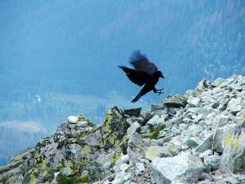 Landing raven on Krivan
