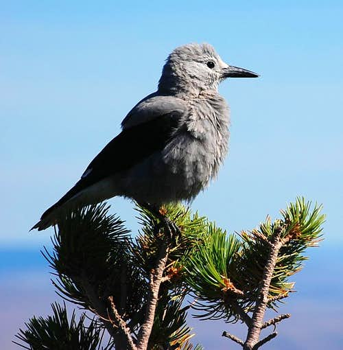 Clark\'s Nutcracker on Mt. Howard, Wallowa Mtns.