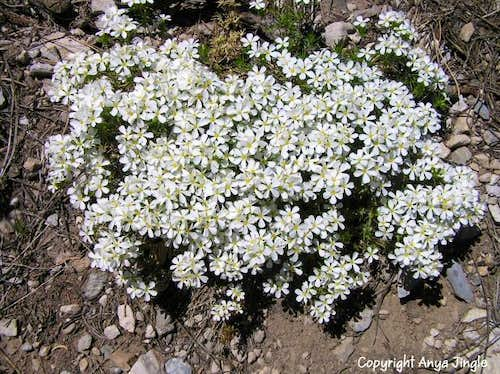 Nuttall\'s Linanthus