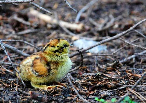 Grouse Chick