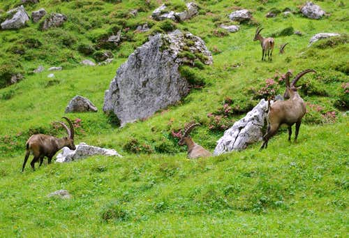 Steinbocks of the Vallon Froppa (4)