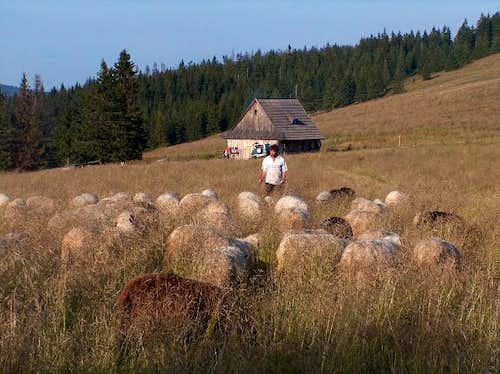 Sheep herd, Gorce