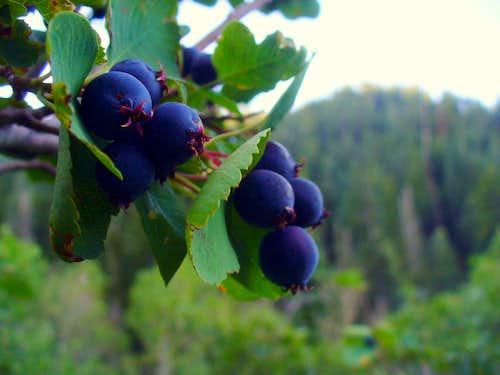 Wasatch Serviceberries
