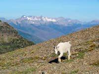 Hello, goat