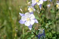 CO State Flower, the Columbine