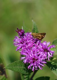 Skipper and Ironweed in Cowles Bog