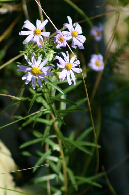 Flattop Aster in Cowles Bog