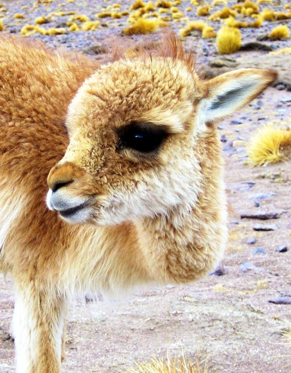 What's cuter than a llama?