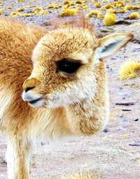 What\'s cuter than a llama?
