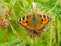 Tortoiseshell Butterfly - Fruid
