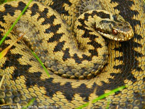 Adder - Common Viper