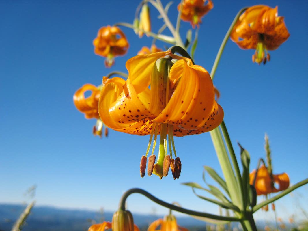 Wild lilies photo albums summitpost tiger lilies izmirmasajfo Images