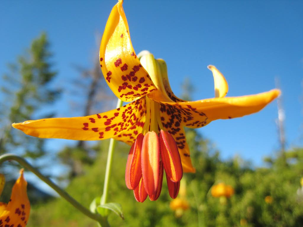 Tiger Lily up close