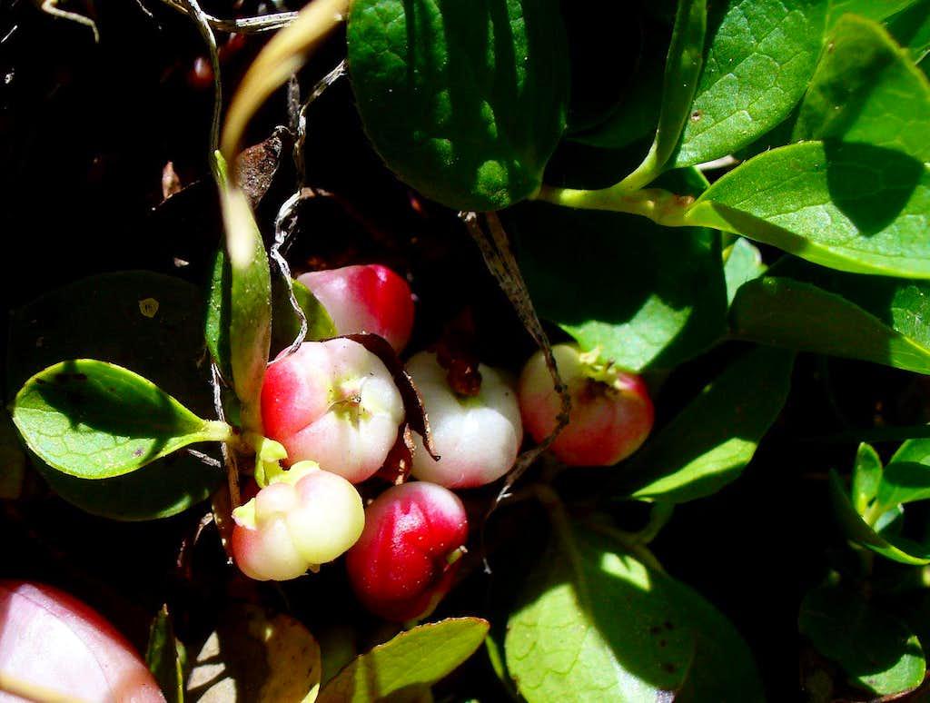 Alpine Wintergreen berries revealed
