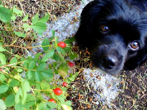 Dog Rose hips and the first Wasatch snow