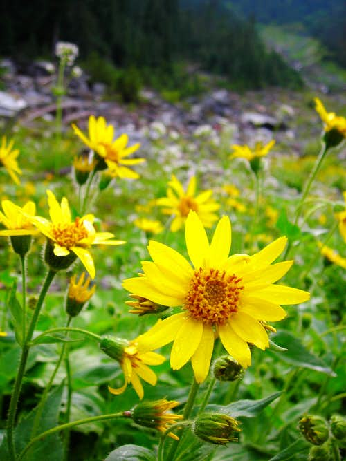 Clasping Arnica in Wellesley Basin