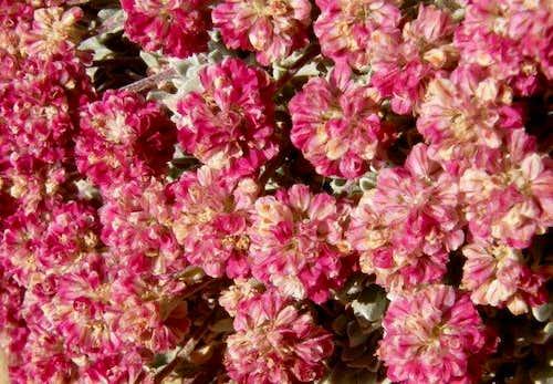 Raspberry Buckwheat