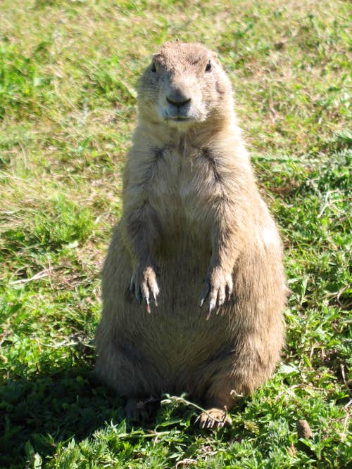 devil's tower, prairie dog