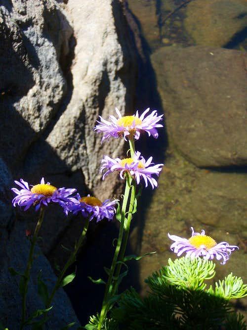 Lakeside Wandering Daisy
