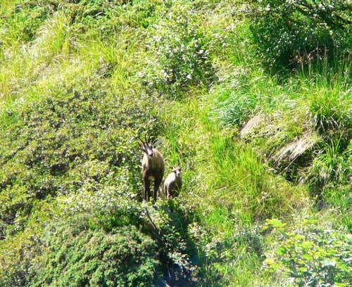 Chamois looking for me...