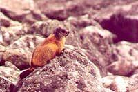 A marmot in Dolina Za Mnichem...