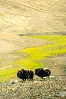 A couple of muskoxen grazing...