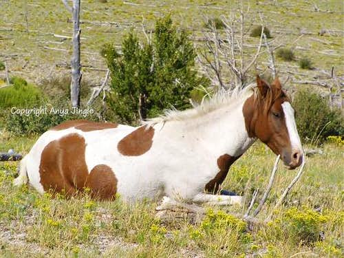 Wild Mustang at rest
